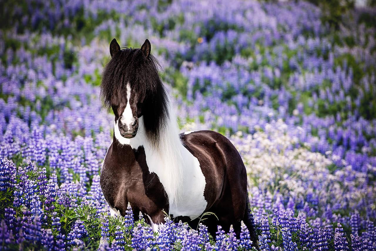 Az izlandi ló színgazdag fajta.