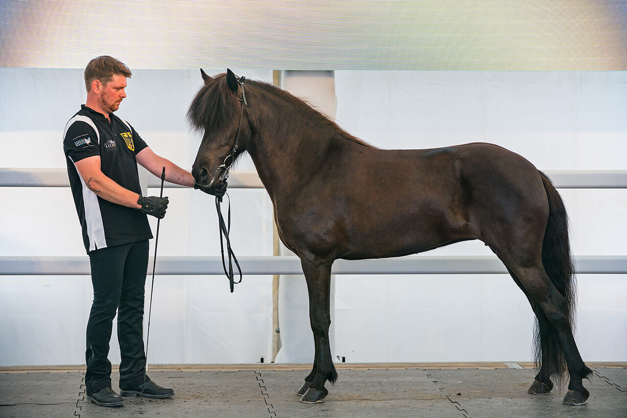 Az izlandi ló elbűvölő és erős.