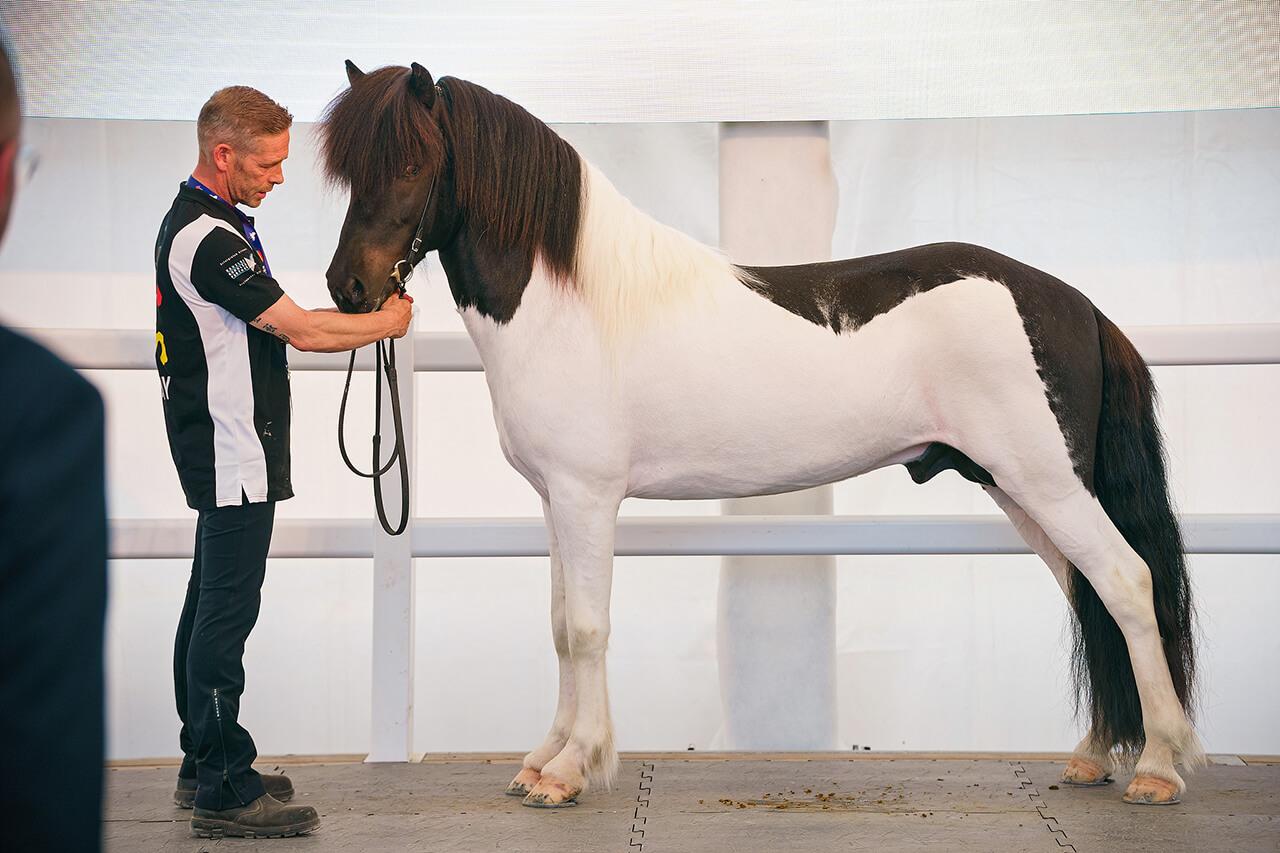 Izlandi ló tenyésztési kiállítás