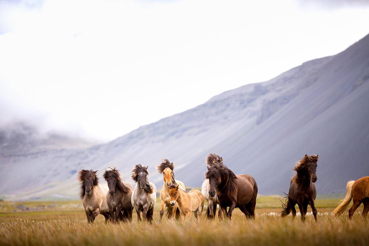 Különleges lófajta: az izlandi ló